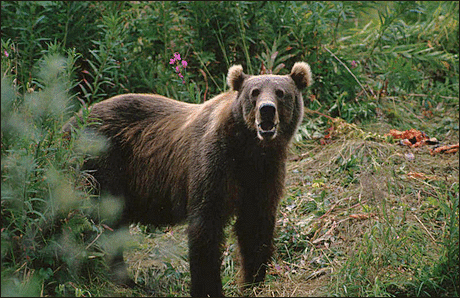 bear Kodiak Brown Bear