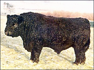 cow Galloway