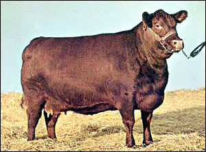 cow Red Poll