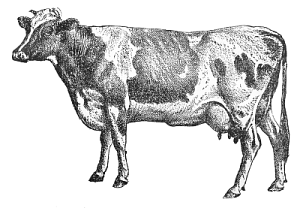 cow guernsey BW
