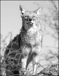 coyote looking 2