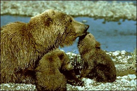 bear grizzly cubs