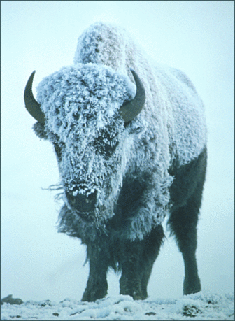 bison in storm