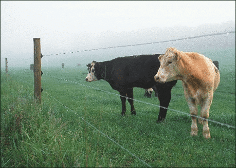 cow cows by fence