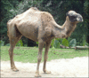 Camel in Singapore Zoo clip art