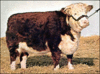 cow Hereford clip art