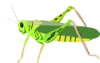 grasshopper cricket cavalletta architetto fr 01 clip art