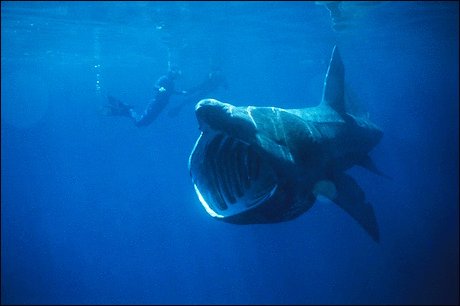 Basking Shark eats plankton