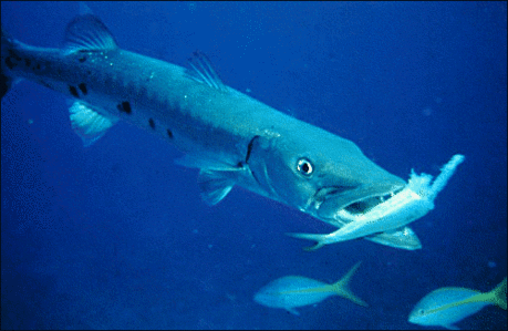 Barracuda feeding