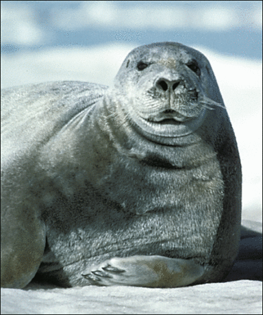 Seal Bearded