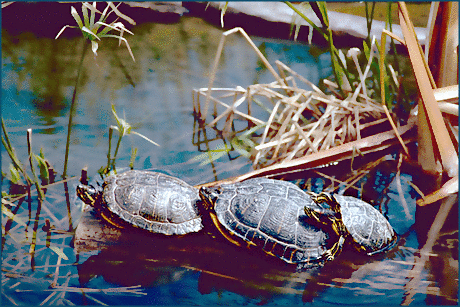 red-eared sliders