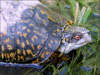Gulf Coast Box Turtle clip art