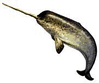 Narwhal 2 clip art