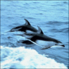 Pacific white sided dolphin clip art