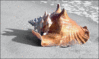 Whelk on beach clip art