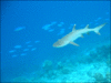 Whitetip-reef-shark clip art