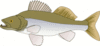 pike perch clip art