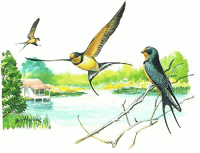 Barn Swallow 5