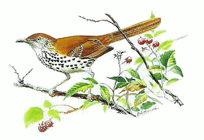 Brown Thrasher 5