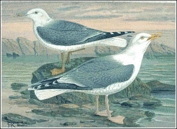 Herring Gull 01 5