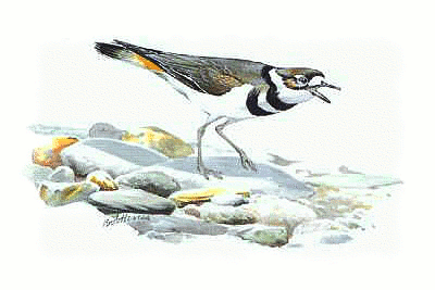 Killdeer 5