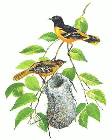 Baltimore Oriole 5