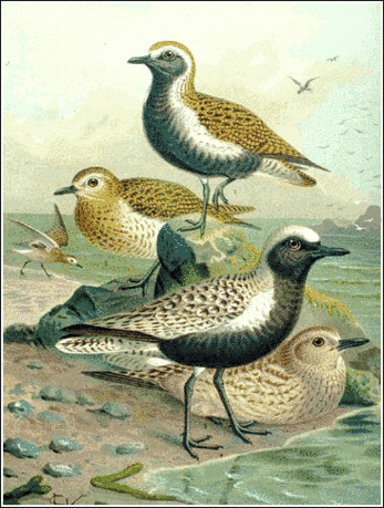 Plover Grey and Golden