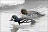 Barrows Goldeneye clip art