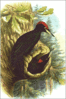 Black Woodpecker clip art