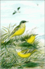 Blue headed Wagtail clip art