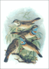 Bluethroat clip art