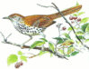 Brown Thrasher 0 01 5 clip art