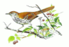 Brown Thrasher 5 clip art