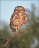 Burrowing owl clip art