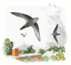 Chimney Swift 5 clip art