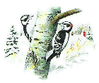 Downy Woodpecker clip art