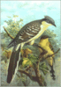 Great Spotted Cuckoo clip art