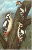 Great Spotted Woodpecker clip art