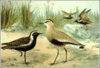 Greater Sand Plover clip art
