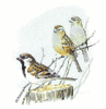 House Sparrow clip art