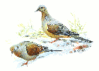 Mourning Dove clip art