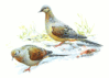 Mourning Dove 5 clip art