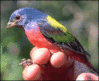 Painted bunting Passerina ciris clip art