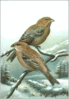 Pine Grosbeak clip art
