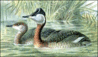 Red-Necked Grebe clip art