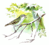 Red Eyed Vireo clip art