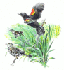 Red Winged Blackbird clip art