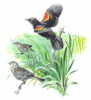 Red Winged Blackbird 5 clip art
