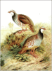 Red legged Partridge clip art