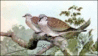 Turtle-dove clip art